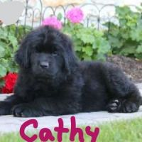Newfoundland Dog Puppies for sale in Narvon, PA 17555, USA. price: NA