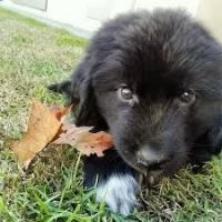 Newfoundland Dog Puppies for sale in Ohio St, Lawrence, KS, USA. price: NA