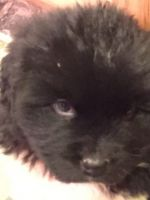 Newfoundland Dog Puppies for sale in Cable, OH 43009, USA. price: NA