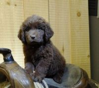 Newfoundland Dog Puppies for sale in Seattle, WA 98144, USA. price: NA
