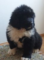 Newfoundland Dog Puppies for sale in Sherrodsville, OH 44675, USA. price: NA