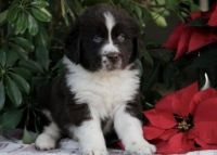 Newfoundland Dog Puppies for sale in Alexandria, OH 43001, USA. price: NA
