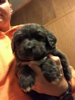 Newfoundland Dog Puppies for sale in Wheeling, MO 64688, USA. price: NA