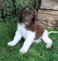 Newfoundland Dog Puppies for sale in Los Angeles, CA 90009, USA. price: NA