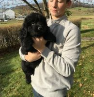 Newfoundland Dog Puppies for sale in Boston, MA, USA. price: NA