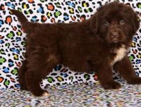 Newfoundland Dog Puppies for sale in Chicago, IL 60602, USA. price: NA