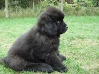 Newfoundland Dog Puppies for sale in Houston, TX, USA. price: NA