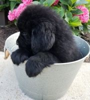 Newfoundland Dog Puppies for sale in Portland, OR 97207, USA. price: NA