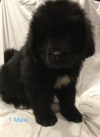 Newfoundland Dog Puppies for sale in Cincinnati, OH, USA. price: NA