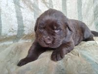 Newfoundland Dog Puppies for sale in Dresden, OH 43821, USA. price: NA