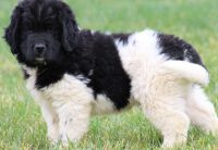 Newfoundland Dog Puppies for sale in 98142 S Figueroa St, Los Angeles, CA 90007, USA. price: NA