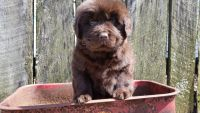Newfoundland Dog Puppies for sale in Sugarcreek, OH 44681, USA. price: NA