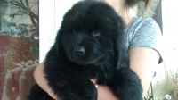 Newfoundland Dog Puppies for sale in 136 Churchtown Rd, Narvon, PA 17555, USA. price: NA