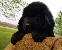 Newfoundland Dog Puppies for sale in Jamestown, IN 46147, USA. price: NA