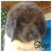 Newfoundland Dog Puppies for sale in Millersburg, OH 44654, USA. price: NA