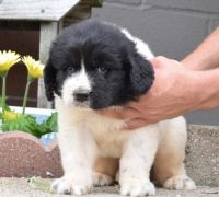 Newfoundland Dog Puppies for sale in Dallas, TX, USA. price: NA