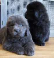Newfoundland Dog Puppies for sale in Dallas, TX 75204, USA. price: NA