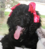 Newfoundland Dog Puppies for sale in Warsaw, IN, USA. price: NA