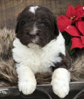 Newfoundland Dog Puppies for sale in Holmes County, OH, USA. price: NA