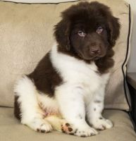 Newfoundland Dog Puppies for sale in Frisco, TX, USA. price: NA