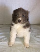Newfoundland Dog Puppies for sale in Apple Creek, OH 44606, USA. price: NA
