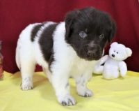 Newfoundland Dog Puppies for sale in Ann Arbor, MI, USA. price: NA
