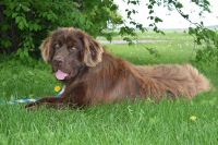 Newfoundland Dog Puppies for sale in Sugar City, ID, USA. price: NA
