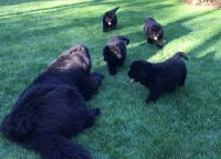 Newfoundland Dog Puppies for sale in Riverside, CA, USA. price: NA