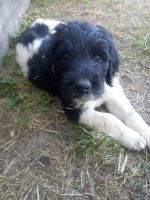 Newfoundland Dog Puppies for sale in Angola, IN 46703, USA. price: NA