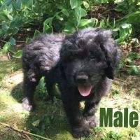 Newfoundland Dog Puppies for sale in Allegan, MI 49010, USA. price: NA