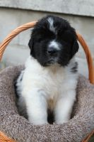 Newfoundland Dog Puppies for sale in Davison, MI 48423, USA. price: NA