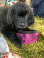 Newfoundland Dog Puppies for sale in Tacoma, WA, USA. price: NA