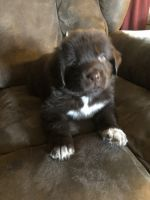 Newfoundland Dog Puppies for sale in Westfield, NC, USA. price: NA