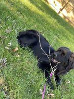 Newfoundland Dog Puppies Photos