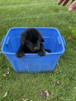 Newfoundland Dog Puppies for sale in Lititz, PA 17543, USA. price: NA