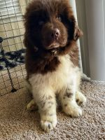 Newfoundland Dog Puppies for sale in Tampa, FL, USA. price: NA