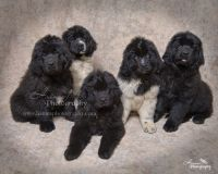 Newfoundland Dog Puppies for sale in Hiram, ME, USA. price: NA