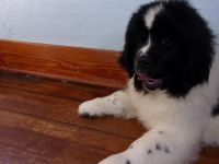 Newfoundland Dog Puppies for sale in Sioux Falls, SD, USA. price: NA