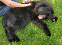 Newfoundland Dog Puppies for sale in SAND DUNES MO, CO 81101, USA. price: NA