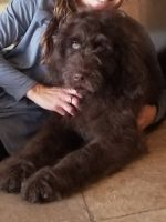 Newfoundland Dog Puppies for sale in IA-60, Iowa, USA. price: NA