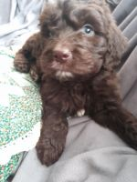 Newfoundland Dog Puppies for sale in Niangua, MO 65713, USA. price: NA
