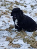 Newfoundland Dog Puppies for sale in Hanover Park, IL, USA. price: NA
