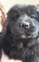 Newfoundland Dog Puppies for sale in Shepherdsville, KY 40165, USA. price: NA