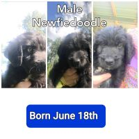 Newfoundland Dog Puppies for sale in Metropolis, IL, USA. price: NA