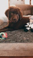 Newfoundland Dog Puppies for sale in Charleston, SC, USA. price: NA