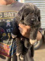 Newfoundland Dog Puppies for sale in Etoile, TX 75944, USA. price: NA