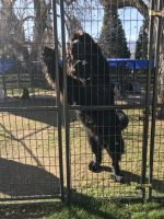 Newfoundland Dog Puppies for sale in Northern California, CA, USA. price: NA