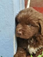 Newfoundland Dog Puppies for sale in Fort Lauderdale, FL, USA. price: NA
