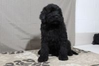 Newfoundland Dog Puppies for sale in Rockville, IN 47872, USA. price: NA