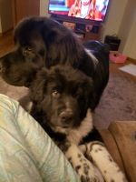 Newfoundland Dog Puppies for sale in Hastings, MI 49058, USA. price: NA